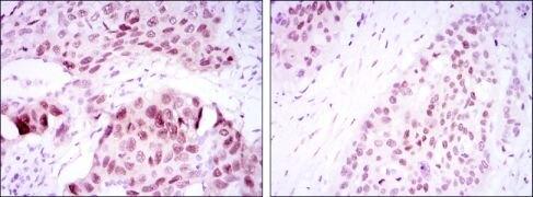 SOX2 Antibody (MA5-15734)