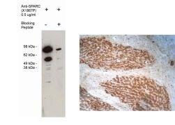 SPARC Antibody (PA1-12865)