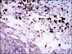SPIB Antibody (MA5-17179)