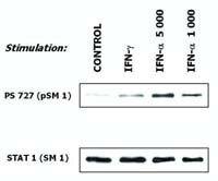 STAT1 Antibody (MA1-19323)