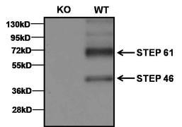 STEP Antibody (MA1-158)