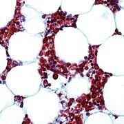 Syk Antibody (PA5-32605)