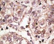 SIGLEC7 Antibody (PA5-11679)