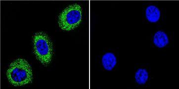 ATP1A1 Antibody (MA3-928)