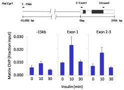 SOX2 Antibody (MA1-014)
