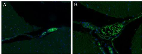 STX1A Antibody (MA5-17612)