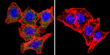 SNTB2 Antibody (MA1-745)