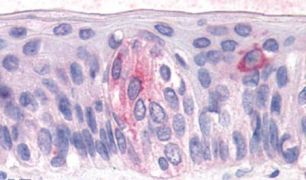 TAS1R3 Antibody (PA5-34256)