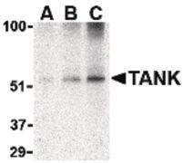 TANK Antibody (PA5-20270)