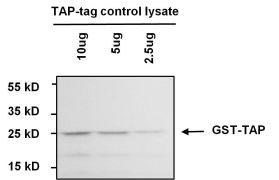 TAP Tag Antibody (MA1-108-BTIN)