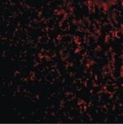 TEM7 Antibody (PA5-20427)