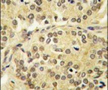 KLF10 Antibody (PA5-14839)