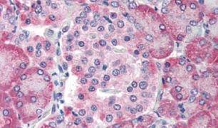 TM9SF4 Antibody (PA5-34270)