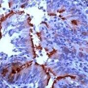 alpha Tubulin Antibody (PA1-38814)