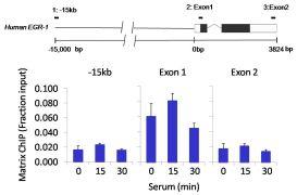 Tri-Methyl-Histone H3 (Lys4) Antibody (MA5-11199)