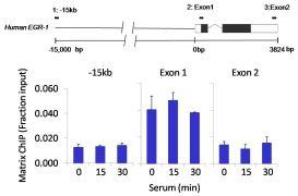 Tri-Methyl-Histone H3 (Lys4) Antibody (PA5-17420)