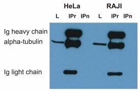 alpha Tubulin Antibody (MA1-19209)
