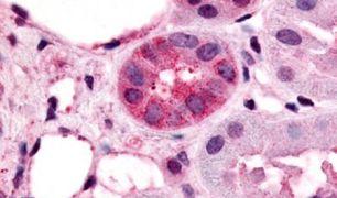 VN1R1 Antibody (PA5-34307)