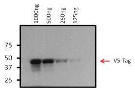 V5 Tag Antibody (MA5-15253-BTIN)