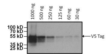 V5 Tag Antibody (MA5-15253-HRP)