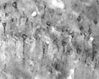 VAMP7 Antibody (OSS00036W)