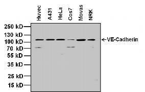 VE-cadherin Antibody (36-1900)