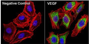 VEGF Antibody (PA5-13297)
