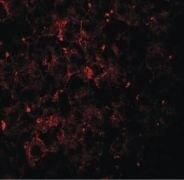 VPS39 Antibody (PA5-21104)