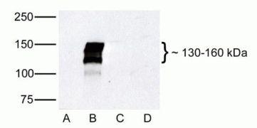 ZO-2 Antibody (38-9000)