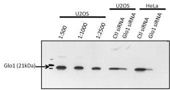 GLO1 Antibody (MA1-13029X)