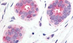 WNT6 Antibody (PA5-34326)