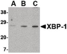 XBP1 Antibody (PA5-20217)