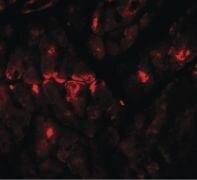 ZBTB9 Antibody (PA5-21095)