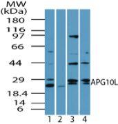 ATG10 Antibody (PA5-23224)