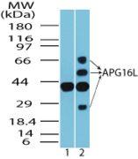 ATG16L1 Antibody (PA5-23217)