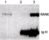 RANK Antibody (MA1-41048)