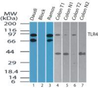 TLR4 Antibody (PA5-23270)