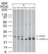 D4-GDI Antibody (MA1-41085)