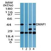 DMAP1 Antibody (PA5-23214)