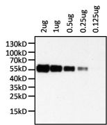 Human IgA (Alpha heavy chain) Secondary Antibody (MA5-11208)