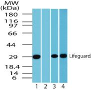 LFG Antibody (PA1-41589)
