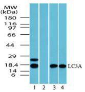 LC3A Antibody (PA5-23166)