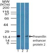 PEN2 Antibody (PA5-23447)