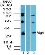 EDG6 Antibody (PA5-23221)