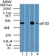 eIF3d Antibody (PA5-23293)