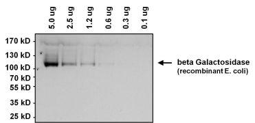 beta Galactosidase Antibody (MA1-152)