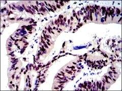 c-Jun Antibody (MA5-15881)