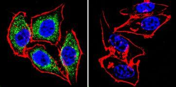 eNOS Antibody (PA3-031A)