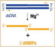 Exonuclease III activity