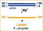Lambda Exonuclease activity